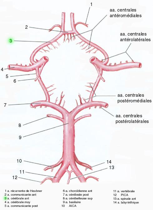 Carotide interne gauche